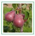 Sadzonki gruszy Red Faworytka (Pyrus communis