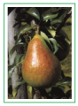 Sadzonki gruszy Carola (Pyrus communis