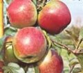 Apples LIGOL