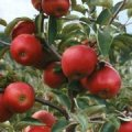 Apples JONAGORED