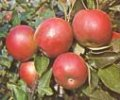 Apples IDARED