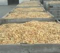 Cebula dymka producent różne odmiany