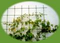Wiązadełko do elastycznego mocowania roślin do tyczki