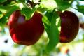 Jabłka odmian: Szampion, Gloster, Idared, Ligol, Jonagored