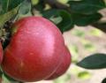 Sadzonki jabłoni Alva, Gloster, Lobo, Koksa, Ligol, Delikates, Antonówka, Szara Reneta, Spartan, Szampion