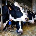 AGRO-GLIKONA słodka - płynna mieszanka paszowa zmniejszająca ryzyko ketozy