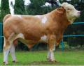 Nasienie buhajów ras mięsnych Simental