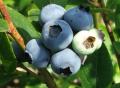 Czarne jagody (borówki)