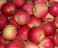 Jabłka gotowe do odbioru od sadownika odmiana Jonagored.
