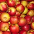 Gloster jabłka prosto z sadu.