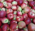 Jabłko Ligol sprzedaż od sadownika.