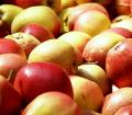Oferujemy sprzedaż świeżych jabłek.