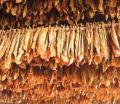 Technologia prasy przetwarzającej susz dla firmy z branży tytoniowej.