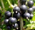 Owoc suszonej czarnej porzeczki bogaty w witaminy w tym witaminę C.