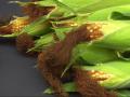 Znamię kukurydzy, lub wąsy kukurydziane, korzystnie wpływa na wątrobę i drogi moczowe.