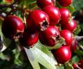 Suszone owoce głogu dla mocnego i zdrowego serca.