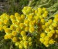 Suszony kwiat kocanki, kwiaty przeznaczone do robienia naparów.