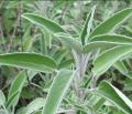 Suszone liście szałwii pomocne w leczeniu stanów zapalnych.