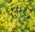 Nasiona kopru włoskiego na wzdęcia, kolki, kłopoty trawienne, bóle brzucha.