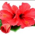 Herbatka ziołowa z kwiatu hibiskusa reguluje poziom cholesterolu i ciśnienie.