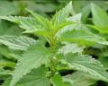 Suszone liście pokrzywy o działaniu moczopędnym i przeciwzapalnym.