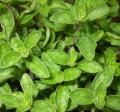Lebiodka pospolita, suszone liście oregano jako przyprawa i zioło do zdrowotnych naparów.
