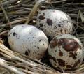 Jajka perliczki, jaja perlicy to artykuł delikatesowy o wybitnych walorach smakowych.