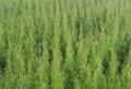 Sadzonki drzew iglastych