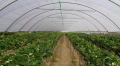 Podłoża do uprawy truskawek gwarantujące najwyższą efektywność