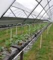 Sprawdzone, wysoko efektywne systemy podłoży do uprawy truskawek