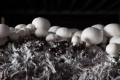 Podłoże fazy III dla pieczarki białej