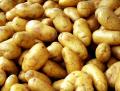 Polski ziemniak młody, sprzedaż hurtowa- ilości tirowe, pakowany zgodnie ze specyfikacją klienta, dostępne różne odmiany i rozmiary- kalibracja pod klienta.