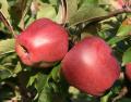 Świeże jabłka z Polski na export