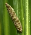Acorus calamus Rhizome (rhizoma pouces) séchées, commerce de gros