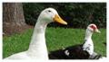 Pasze dla kaczek