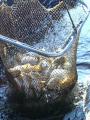 Produkcja ryb