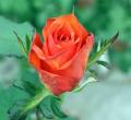 Cięte kwiaty. Róże w wielu odmianach i tulipany (sezonowo).