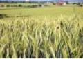 Mąka pszenna uzyskiwana z miękkich pszenic zimowych.