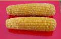 Produkcja kukurydzy cukrowej w kolbach świeżej i mrożonej.