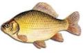 Ryby słodkowodne z własnego gospodarstwa rybackiego.