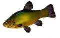 Sprzedaż ryb słodkowodnych patroszonych i filetowanych.