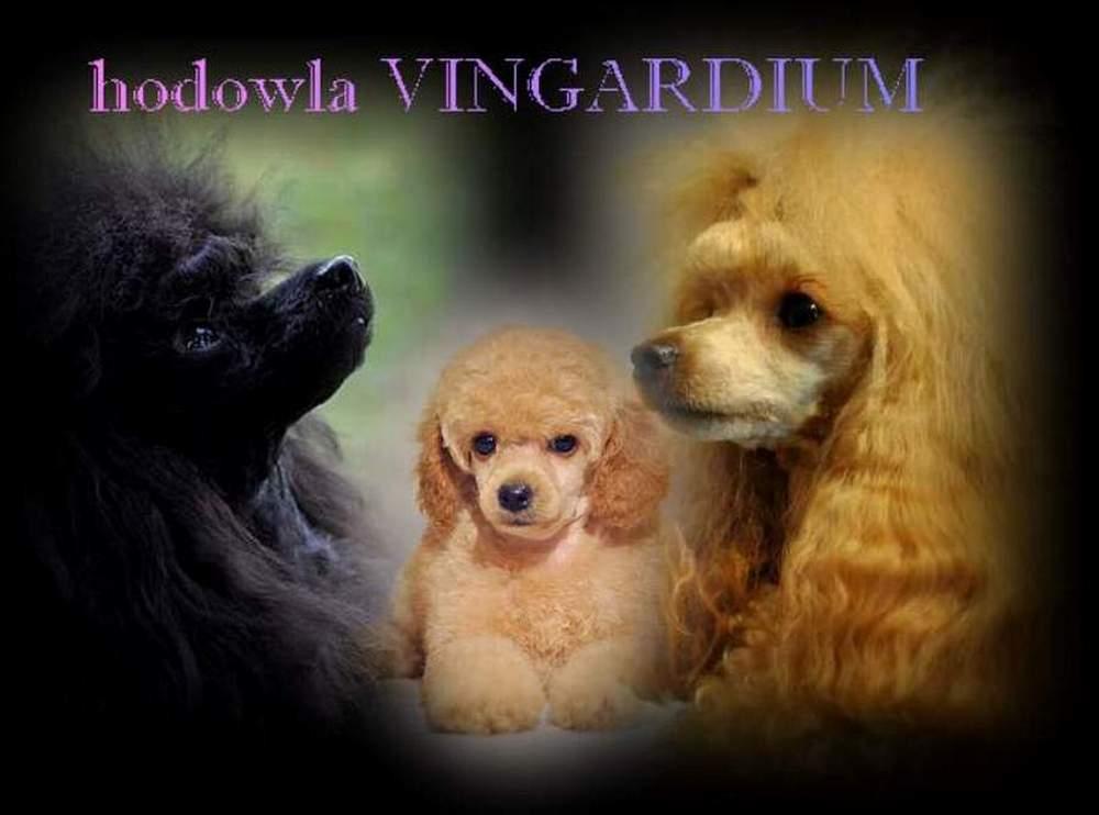 W superbly Hodowla pudli Toy i Miniaturowych Vingarium w Lublin   Sklep OF73