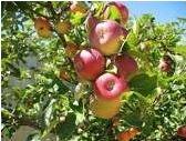 Szkolka drzewek i krzewow owocowych, Edward Kania