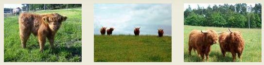 Hodowla Bydła Zarodowego Rasy Highland Cattle, Os.f., Lębork