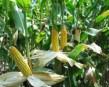 Zamówienie Kukurydza