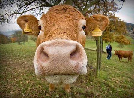 Zamówienie Ubój wołowiny