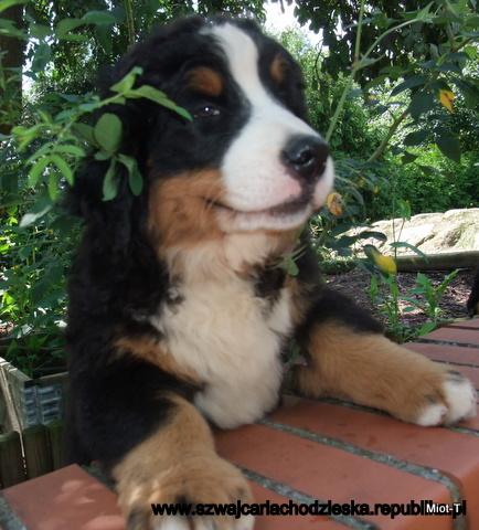 Zamówienie Berneński pies pasterski, Berner Sennenhund, Bernese Mountain Dog