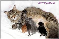 Hodowla kotów Maine Coon