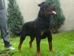 """Ares """"na wzgórzu Redena""""- pies,"""