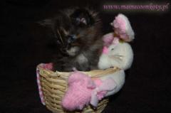 Hodowla Kotów Rasowych Argoth*Pl